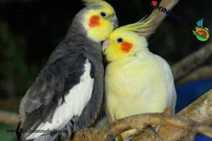 عروس هلندی نوعی پرنده از نژاد طوطی است